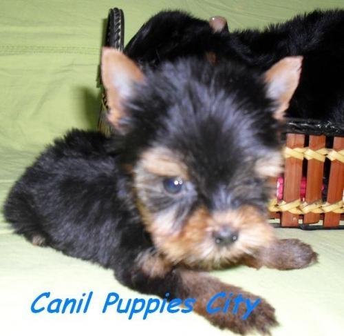 Fotos de Filhotes de yorkshire terrier 4
