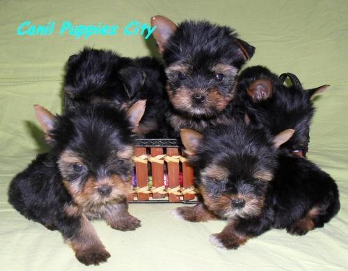 Fotos de Filhotes de yorkshire terrier 1