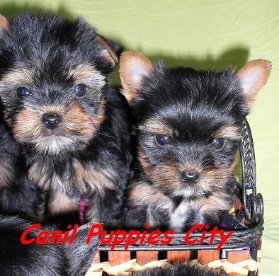 Fotos de Filhotes de yorkshire terrier 3
