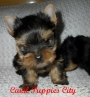Yorkshire Terrier com Pedigree !!!