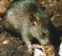 vila matilde dedetizadora, 11 4112 3773 - dedetizacao na penha,vila matilde,vila dalila,vila talarico,etc de baratas,ratos,pulga,cupim,etc