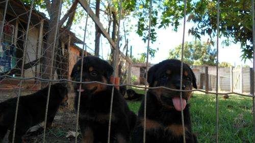 Filhotes de rottweiler com pedigree com linhagem alemã