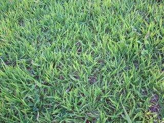 Fotos de Faça seu gramado ou campo de futebol c/ sementes c/ baixo custo 2