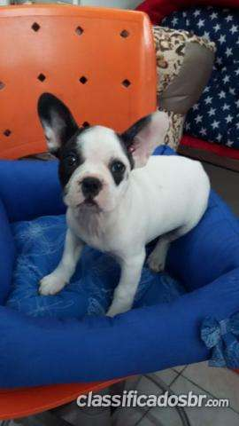 Tengo a la venta !! bulldog francês - porto filhotes hoy