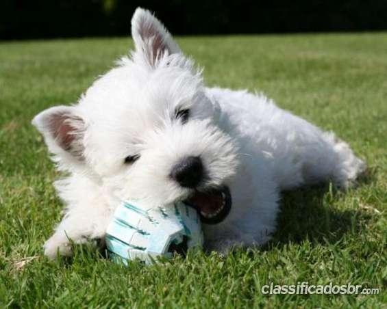 Oportunidad west highland white terrier de primera mano