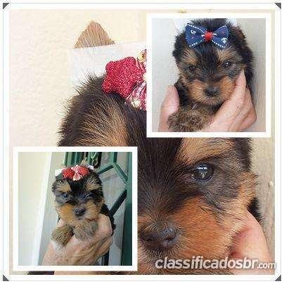 Tenho para venda urgente yorkshire terrier filhotes miniaturas excelente oferta